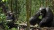 трейлер к фильму Chimpanzee
