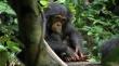 кадры из фильма Шимпанзе