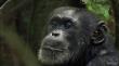 кадры из фильма Chimpanzee