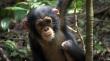 трейлер к фильму Шимпанзе